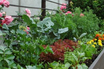 warzywnik w czerwcu