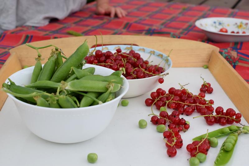 Groszek cukrowy zbieramy wtedy, kiedy porzeczkę czerwoną, czyli na przełomie czerwca i lipca.