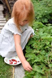 Dziecko zbiera poziomki