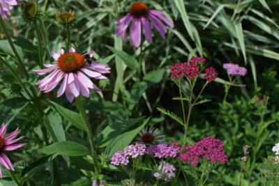 Ten przyciągające motyle i inne owady zestaw składa się z odpornych na suszę roślin: krwawników 'Lilac Beauty' i jeżówek purpurowych 'Magnus'