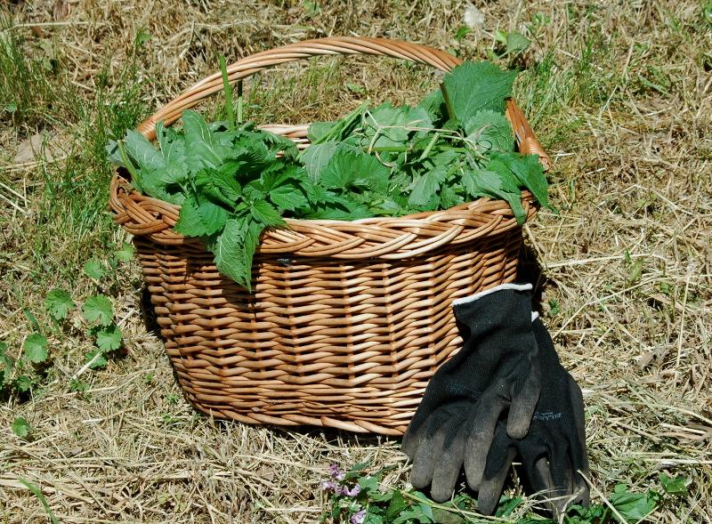Pokrzywy w koszyku zbierane na gnojówkę z pokrzyw, rękawiczki robocze do ogrodu będą potrzebne.