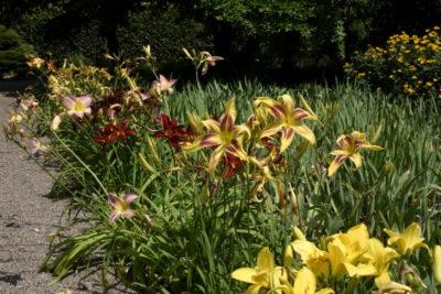 Łan liliowców - rośliny odporne na suszę