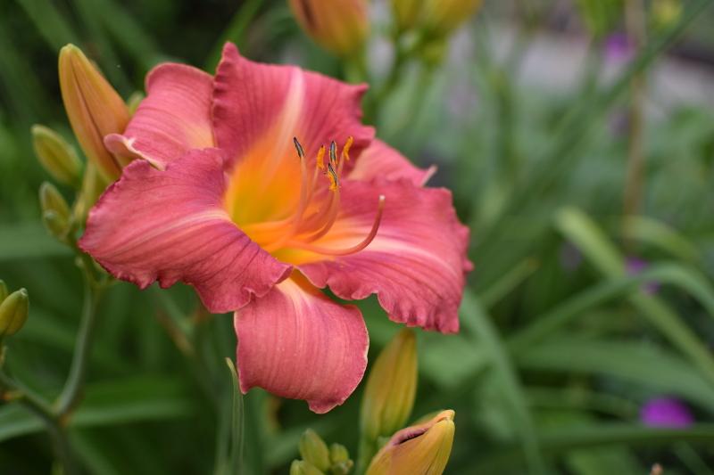 Liliowiec hemerocallis 'Tajga', kwitnie w czerwcu