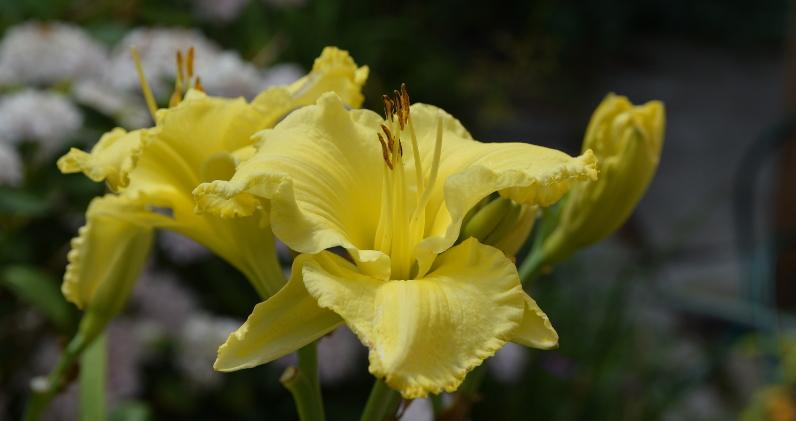 Liliowiec spokojnie dorównuje pięknością liliom.