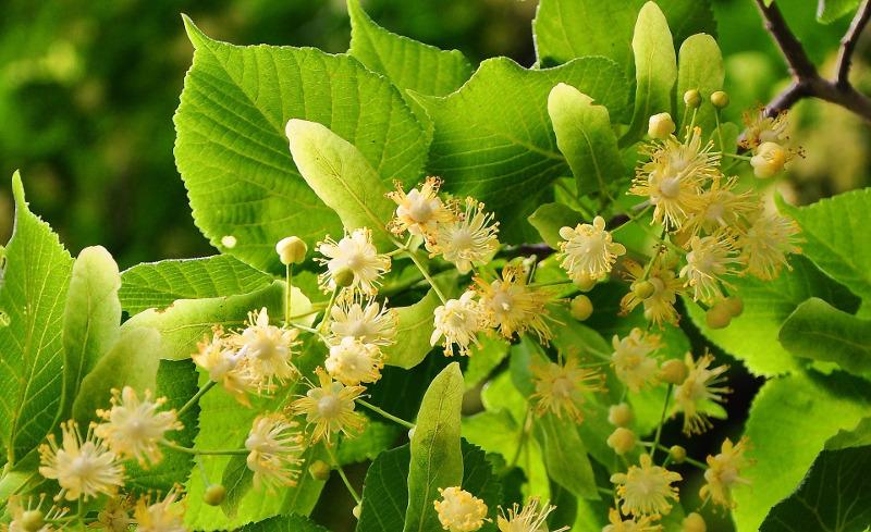 Lipa drobnolistna: jej miododajne kwiaty pachną i przyciągają mnóstwo pszczół