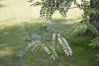 Glediczja trójcierniowa gleditsia triacanthos liście