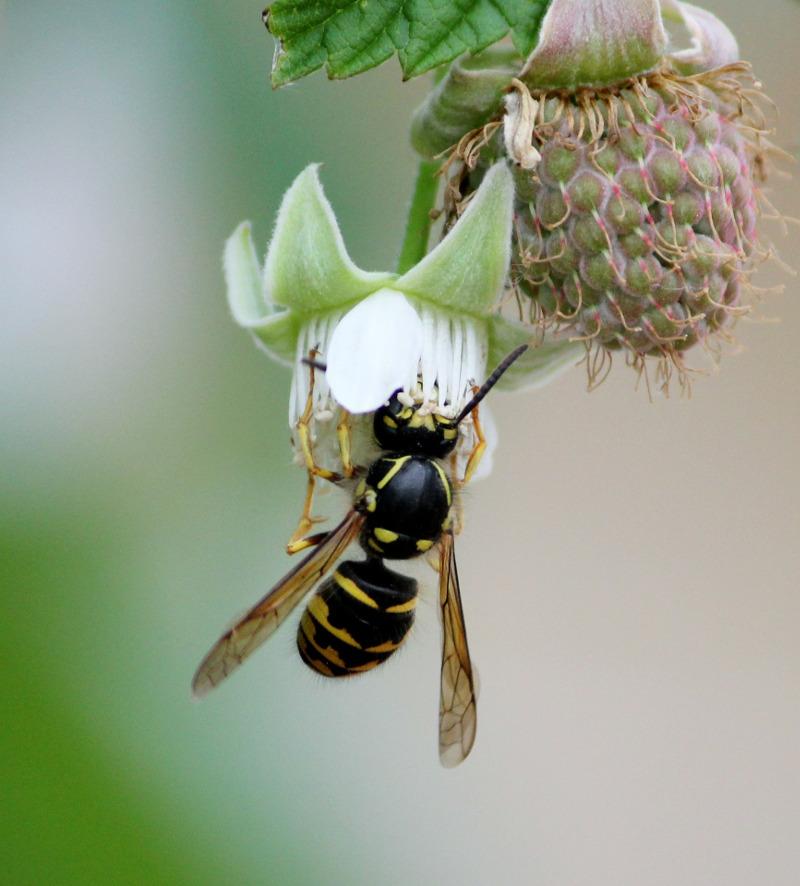 Malina o kwiatach niepozornych przyciąga pszczoły, które wytwarzają z niej miód.