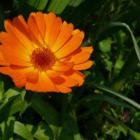 Nasiona kwiatów do ogrodu