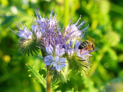 Facelia i pszczoła