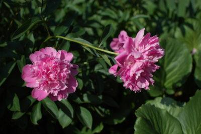 Piwonia różowa w maju