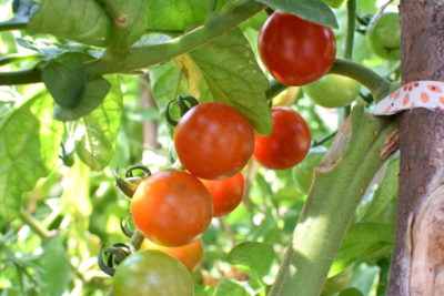 Pomidory podwiązane babcinym sposobem.