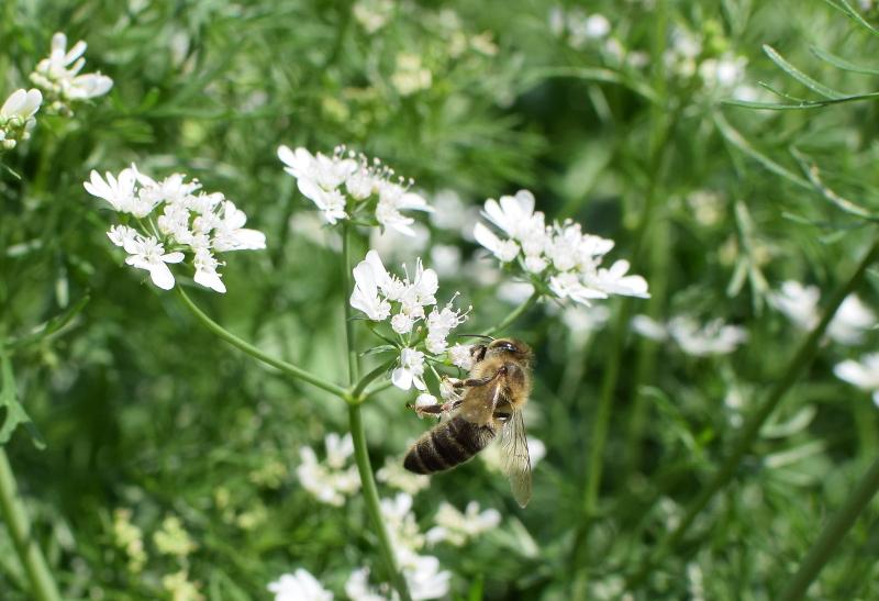 Pszczoła na kwiatach kolendry