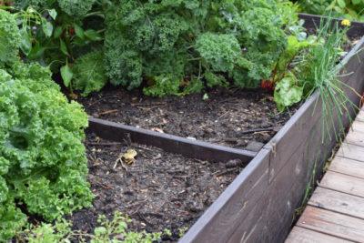 Warzywnik latem: puste miejsce po sałacie, kalarepie i innych wczesnych warzywach.