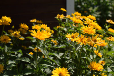 Słoneczniczki