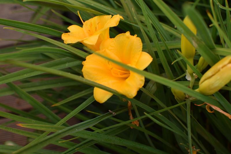 Liliowiec Hemerocallis 'Stella d'Oro', najlepsze liliowce do zieleni publicznej