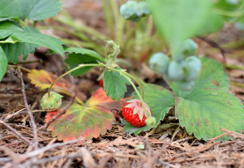 Truskawki to pyszne owoce w ogrodzie