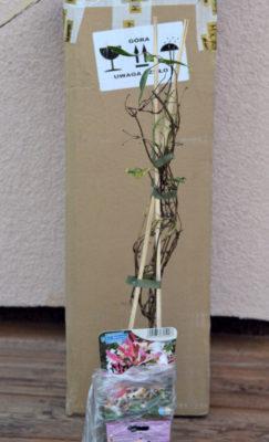 Sadzonka wiciokrzewy pomorskiego, kupowanie roślin przez internet