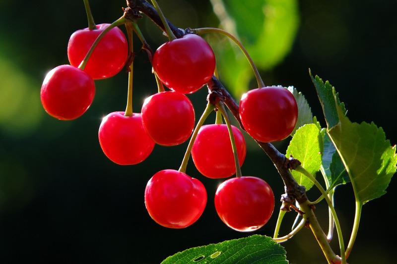 Wiśnia owoce na gałęzi