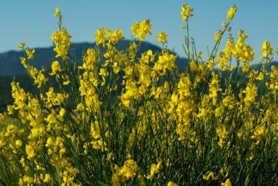 Janowce i żarnowce to krzewy wytrzymujące brak wody, silny wiatr, a przy tym wspaniale kwitną wiosną.