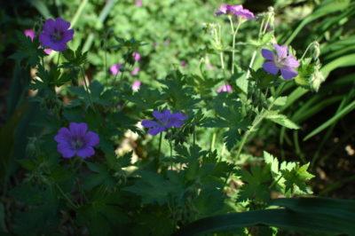 Bodziszki to niezwykle wytrwałe kwiaty, wiele z nich kwitnie pod drzewami, i bez wody sobie poradzą.