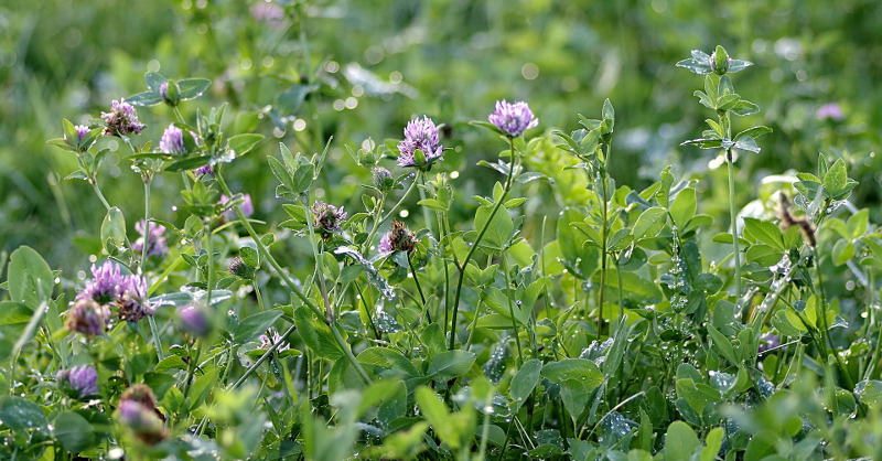 Koniczyna łąkowa żyje w symbiozie z bakteriami azotowymi.