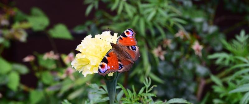 Motyl na aksamitce