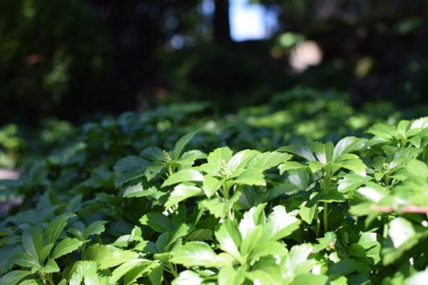 Runianka i inne rośliny do suchego cienia