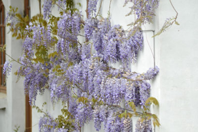Wisteria to roślina motylkowa. Jej korzenie wiążą azot dzięki symbiozie z bakteriami brodawkowatymi.