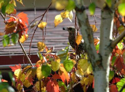Szpak zjada jesienią owoce winobluszczu