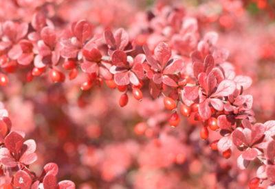 Czerwona odmiana berberysu 'Atropurpurea' z czerwonymi owocami