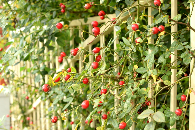 Dzika róża ma piękne owoce, zdrowe dla ludzi i ptaków