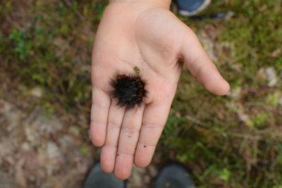 Gąsienica ma imponujące futro!