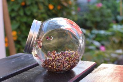 Słoik na kiełki w trzecim dniu hodowli kiełków kalarepy czerwonej