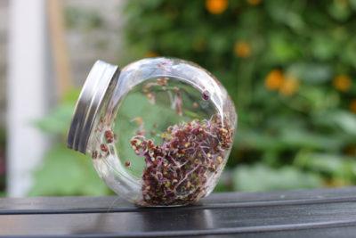 Nasiona kalarepy czerwonej w trzecim dniu kiełkowania