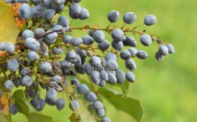 Mahonia pospolita ma kwaśne owoce, nadające się na przetwory, jak najbardziej jadalne.