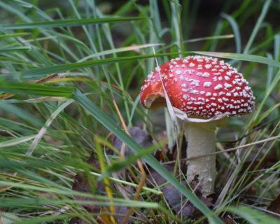 Muchomory czerwone wśród zielonej trawy