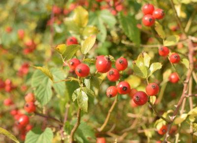 Owoce dzikiej róży zawierają dużo witaminy C, dlatego pijemy z niej herbatkę w zimowe wieczory.