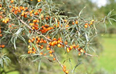 Rokitnik daje zdrowe jesienne owoce, o leczniczym zastosowaniu.