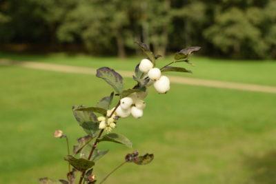 Śnieguliczka, niesłusznie rzadko sadzona w ogrodach, za to często w zieleni publicznej.