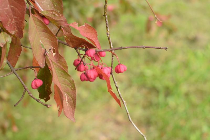Owoce trzmieliny płaskoogonkowej, trujące!