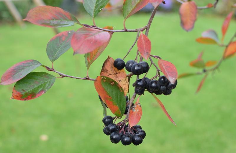 Aronia to krzew niezwykle pożyteczny, a przy tym jesienią przepiękny!