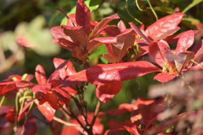 Azalie jesienią - jesienne liście azalii