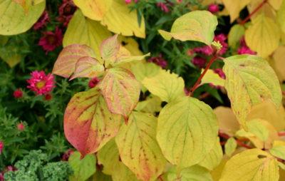 Żółte liście derenia świdwy 'Winterfire' długo się trzymają na czerwonych pędach.