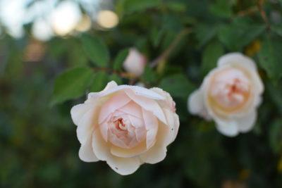Ogród jesienią zdobi się nadal różami
