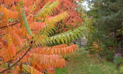 W jesiennym ogrodzie na uwagę zasługują sumaki octowce o pomarańczowych liściach.