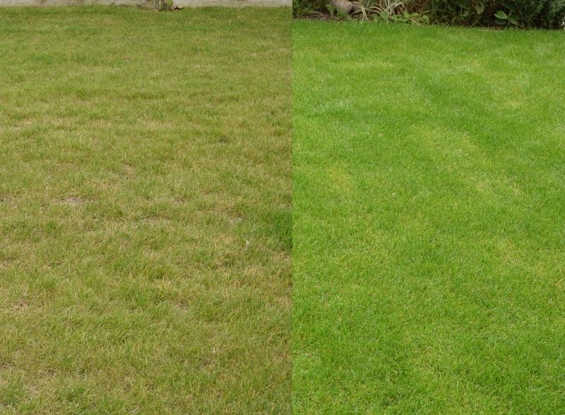 Trawnik z siewu czy z rolki?