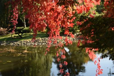 ogród jesienią - winobluszcz nad wodą