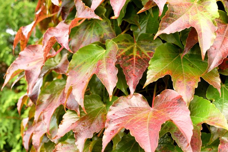 Winobluszcz trójklapowy jesienią dłużej trzyma liście niż pięcioklapowy.