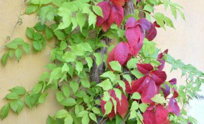 A tu pomysł na duet - wisteria piękna wiosną, jesienią daje tło dla winobluszczu.