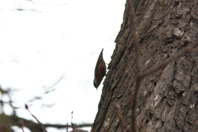 Kowalik chodzi po pniu drzewa głową w dół